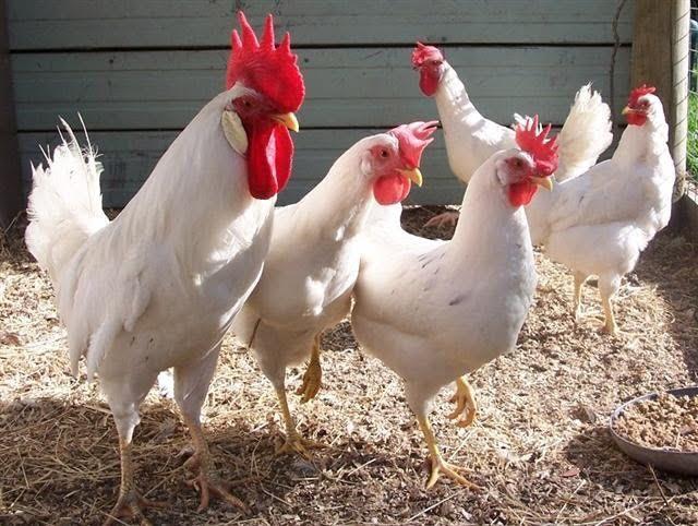 Бизнес по выращиванию кур на мясо