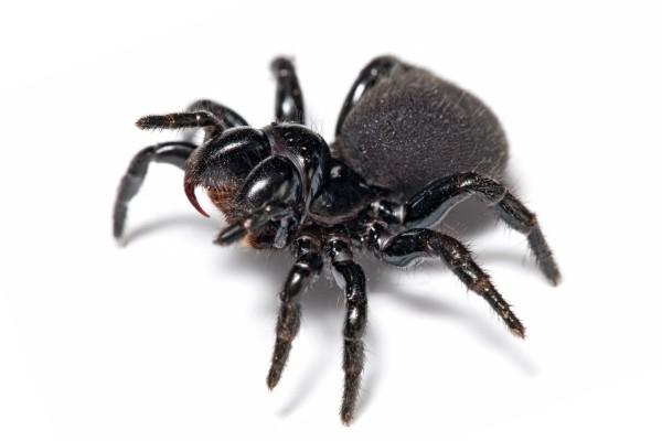 Черные пауки в квартире
