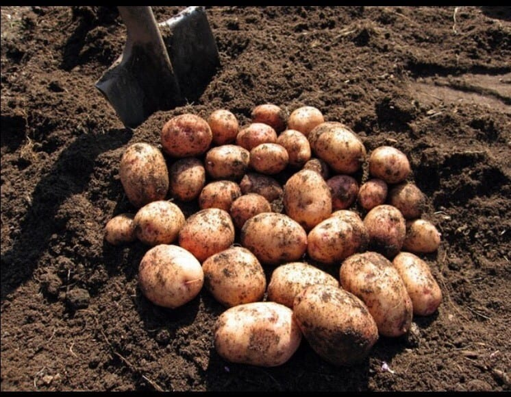 Картошка сонник миллера