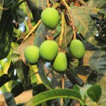 """10 Health Benefits Of Unripe Mangoes - """"Emiyembe Emibisi"""""""
