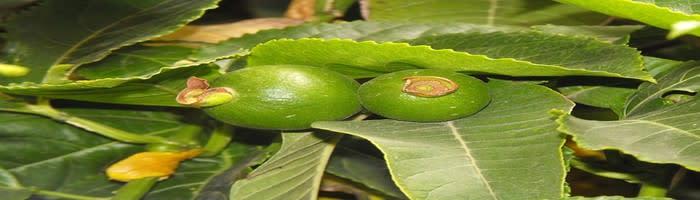 Passion fruit farming in Uganda