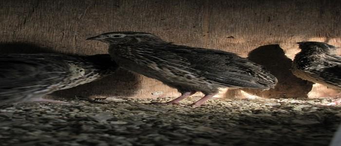 Quail rearing in Uganda