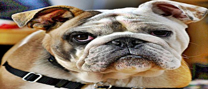 American Best Bulldog Puppy