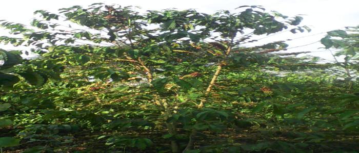 Coffee Farming in Uganda