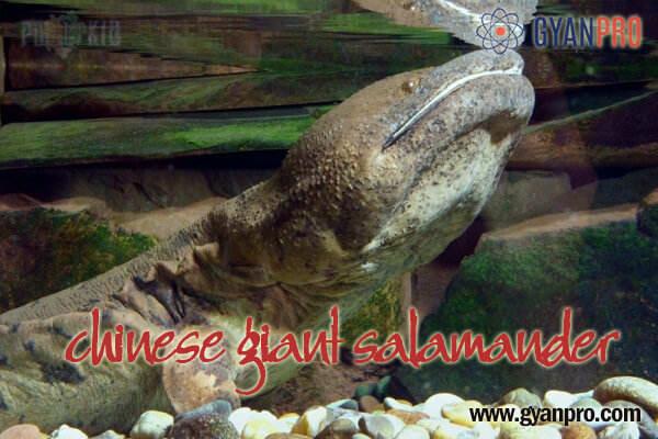 Chinese giant salamande_gyanpro
