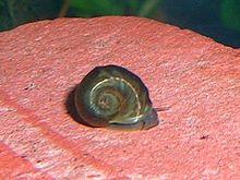 Black ramshorn snails