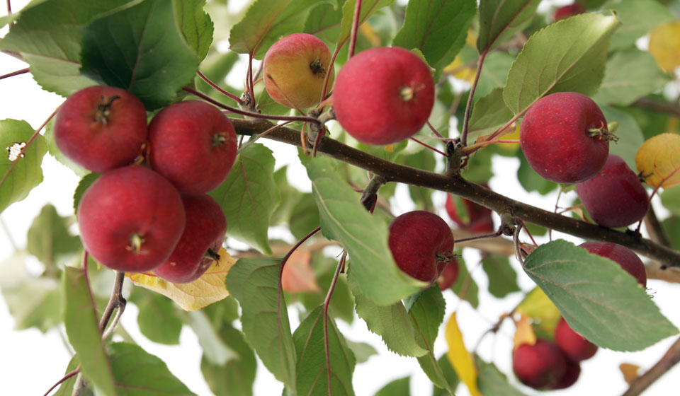 Яблоко ранетка
