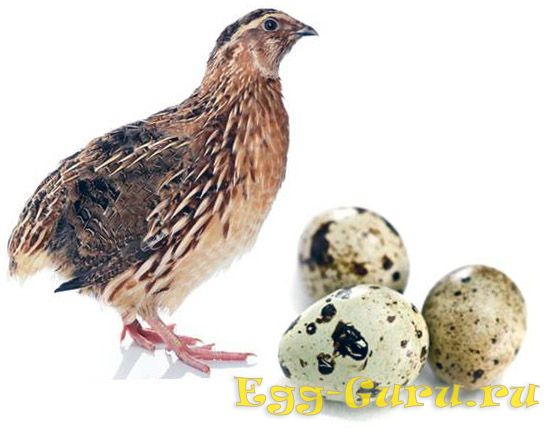 Вареное перепелиное яйцо калорийность 1 шт