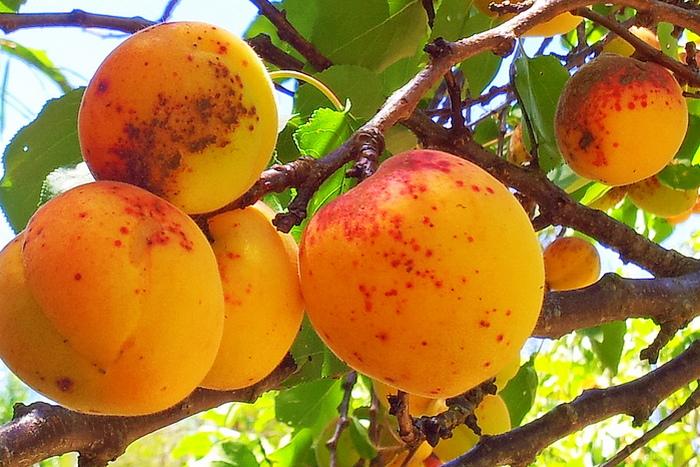Курага в домашних условиях на 1 кг абрикос сахара