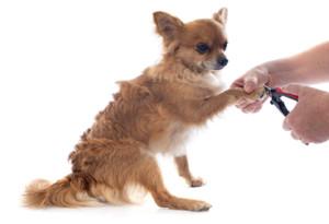 Chihuahua nails too long