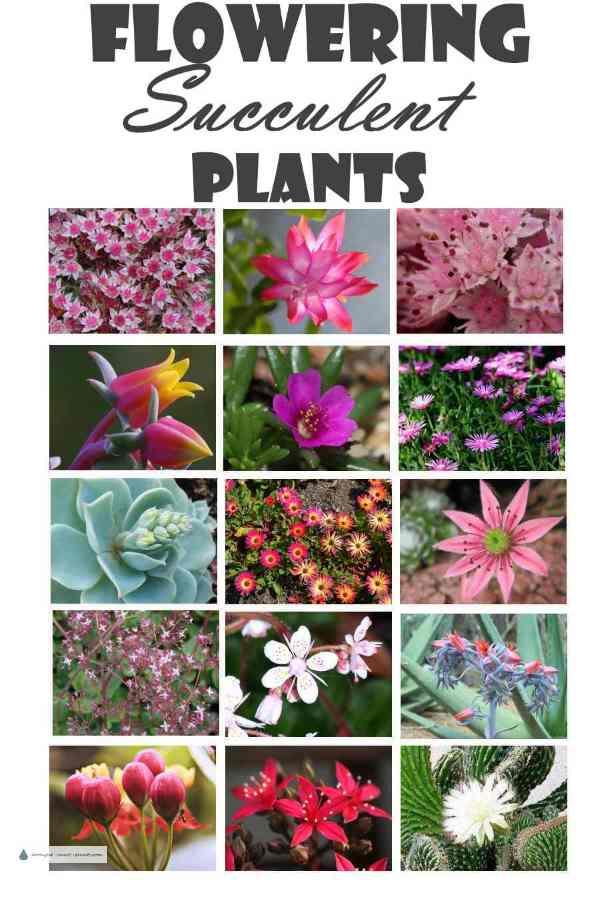 Pink flowering succulent plants