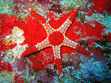 Pink fromia starfish