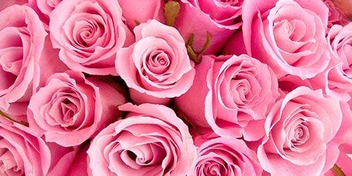 Сонник розы розовые