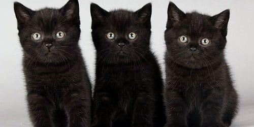 К чему снится черный маленький котенок