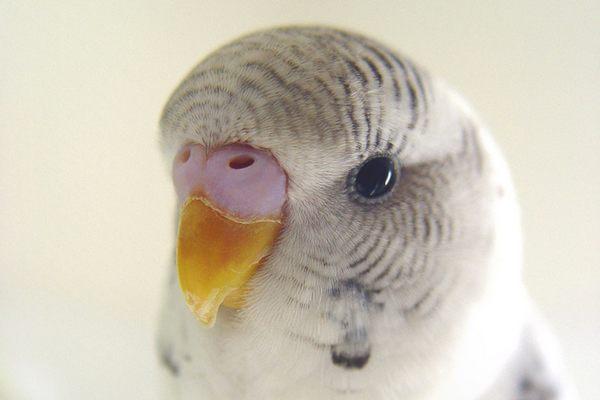 Попугай говорит волнистый