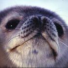 Seals habitat in antarctica
