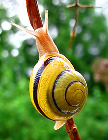 Red lipped snails