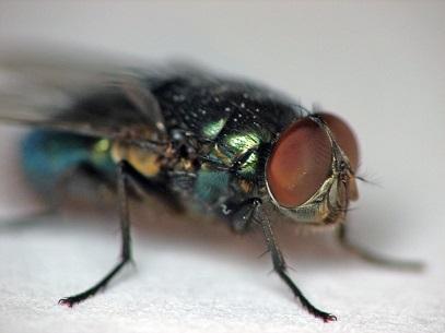 К чему снятся навозные мухи
