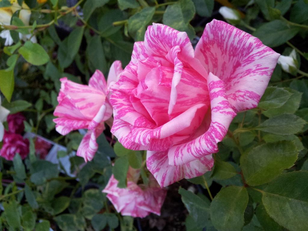Розы фото пинк интуишн фото и описание