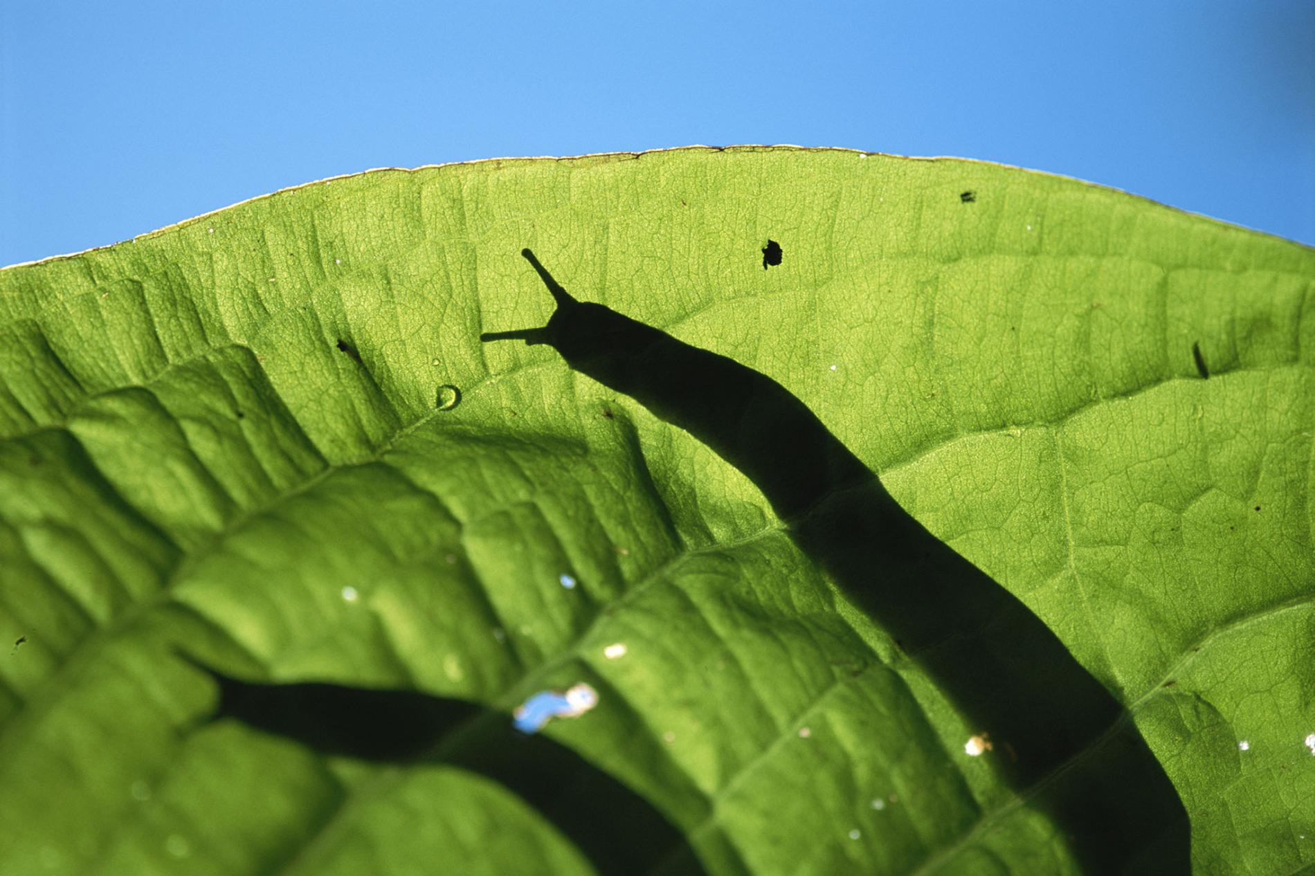 Can you eat slugs like snails