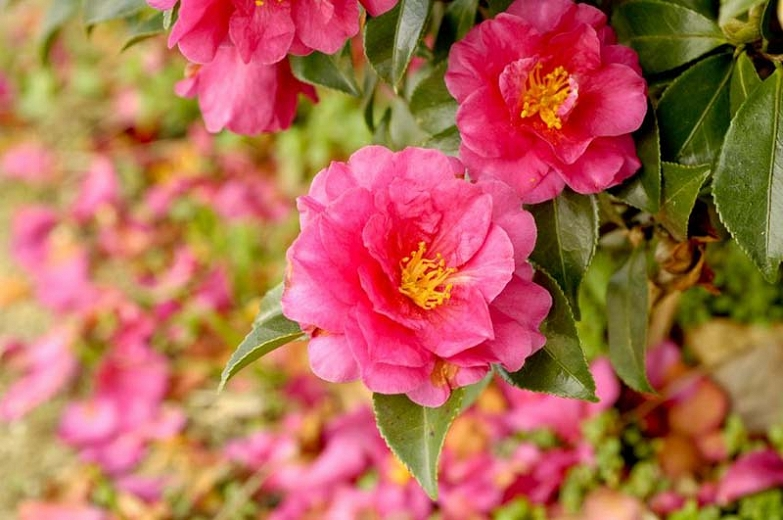 Fall blooming shrub pink flowers