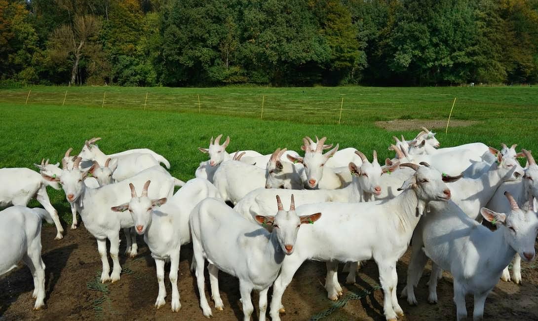 Выгодно ли разводить коз