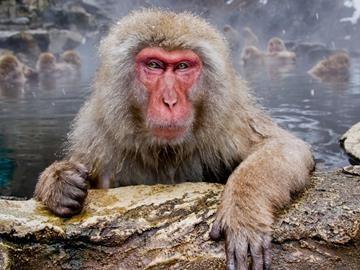 Сонник много обезьян