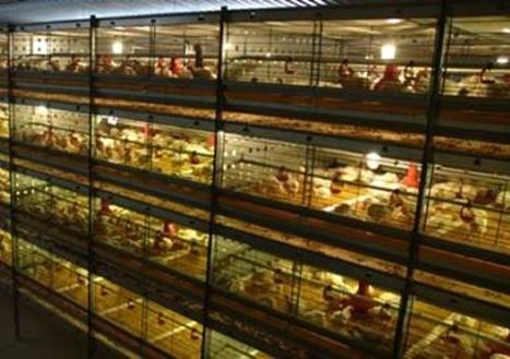 Клеточное содержание бройлеров на птицефабрике