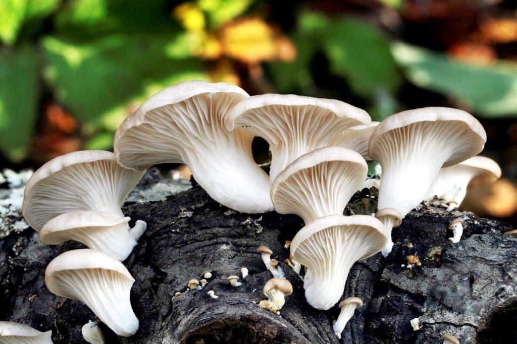 Какие грибы выращивают в домашних условиях