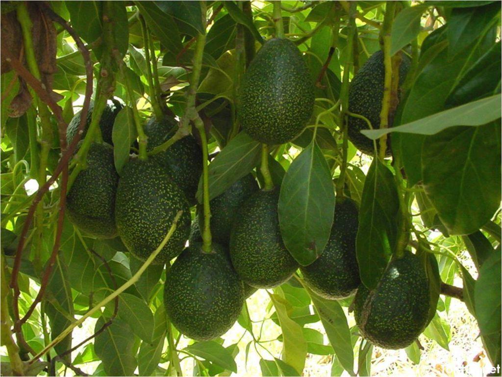 Салат для похудения из авокадо