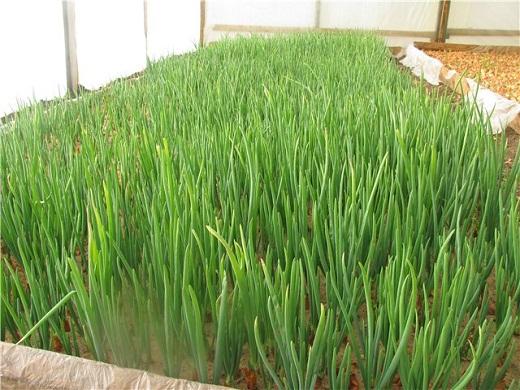 Как вырастить зеленый лук зимой в теплице