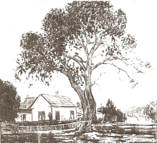 Veteran Cottonwood