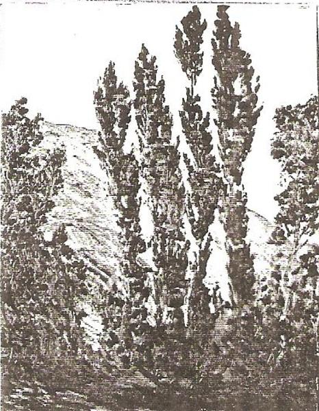 Spanish Poplars
