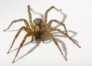 От чего появляются пауки в доме