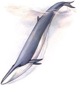 Какой кит самый быстрый