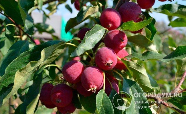 На фото – веточка яблони американского мелкоплодного сорта «Долго», относящегося к группе крэбов (гибридов, полученных от скрещивания разновидностей сибирской яблони с культурными сортами и китайками)