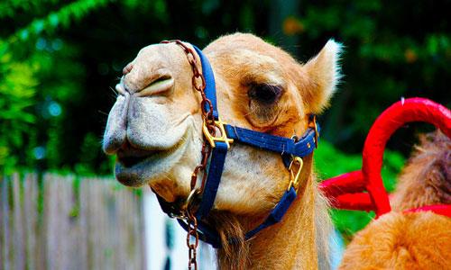 К чему снятся верблюды