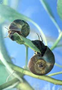 Cold water snails breeding