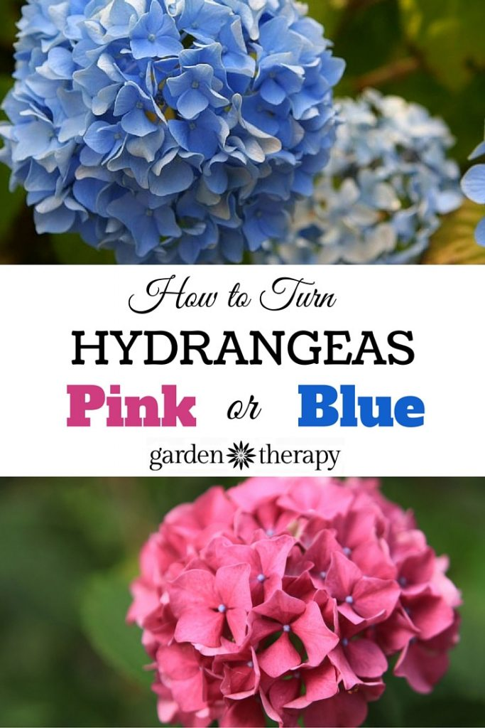 How to keep hydrangeas pink