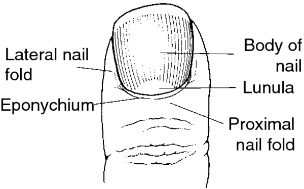 Medical term for softening of the nails