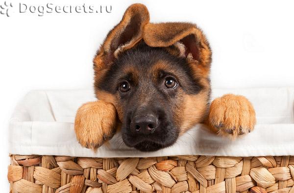 Когда делают прививку щенку первую