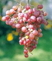 Виноград рилайнс пинк описание сорта фото