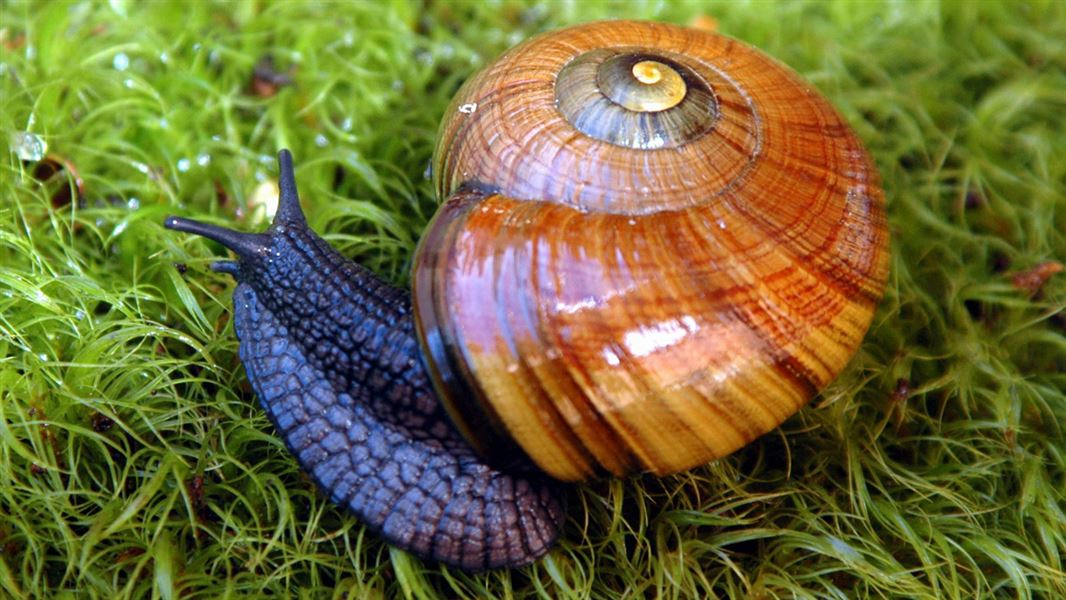 Powelliphanta snails