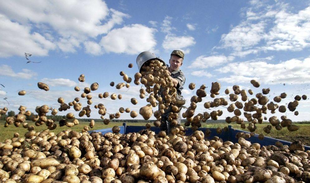 Сколько картошки нужно на 1 га