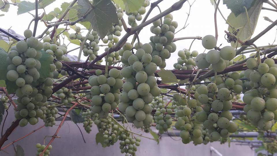 Chiêm ngưỡng vườn nho Pháp trĩu quả trên sân thượng của 1 gia đình. chủ nhân là Anh Phạm Đăng...