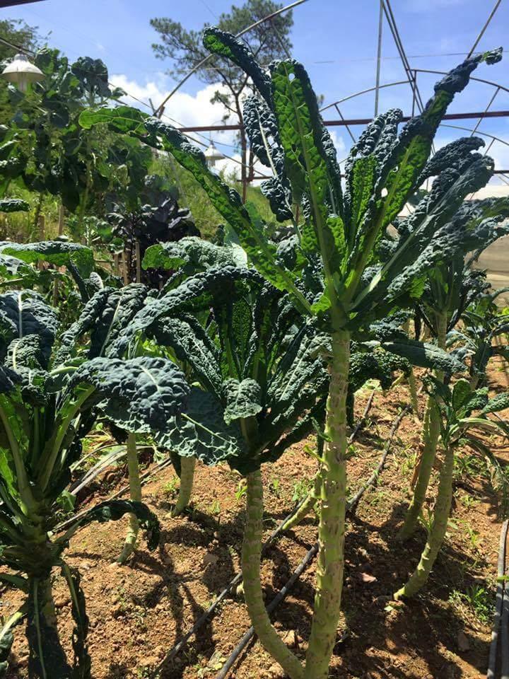 Cận cảnh giống rau cải xoăn Kale cao 1,5 mét ở Đà Lạt. giá bán trên thị trường khoảng...