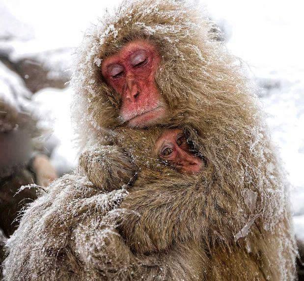 Khỉ mẹ ôm con giữa trời đông giá rét