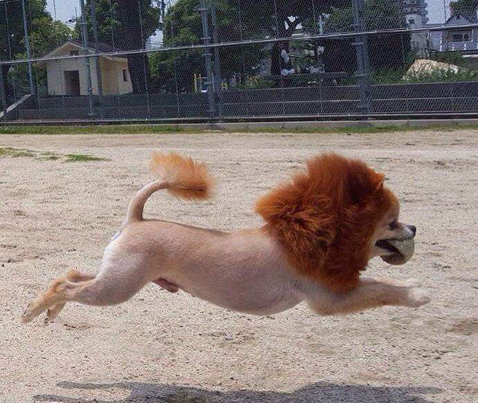 Cần tìm sư tử cái gấp.