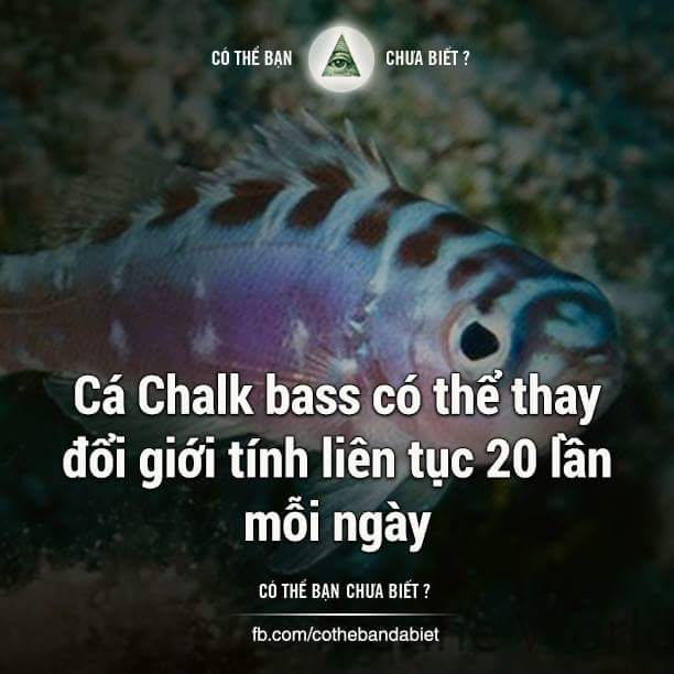 Đây là cá Chalk Bass, loài cá chỉ sống theo cặp một vợ một chồng. Chúng có thể chuyển đổi giới...
