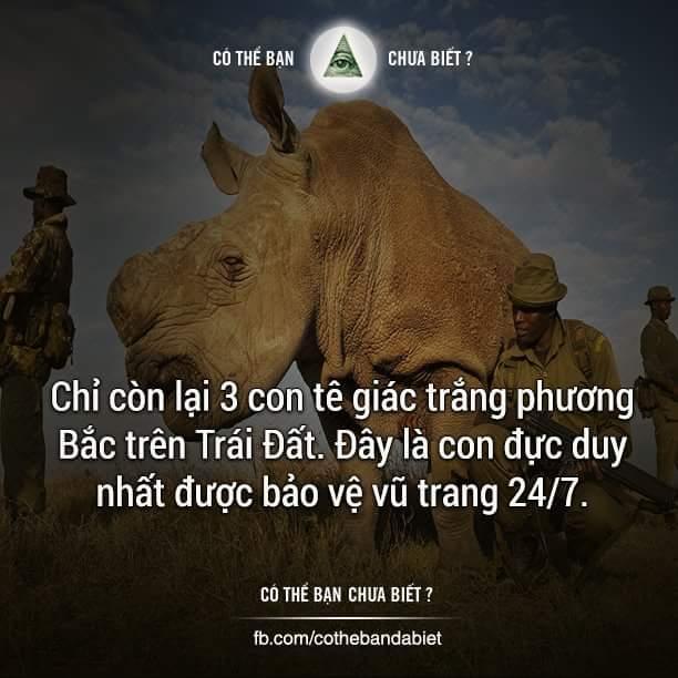 Bị săn giết để lấy sừng, loài tê giác trắng phương Bắc hiện đang đứng bên bờ vực tuyệt chủng....